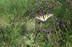 Beautiful butterfly roaming the grounds of Hope Springs Institute in Peebles, OH.