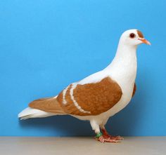 ellow White Bar Thuringer Wing Pigeon