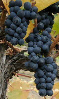 Beautiful Pinot Noir grapes