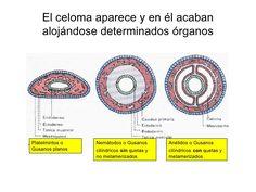 cuadro comparativo de los platelmintos nematodos y anelidos - Buscar con Google