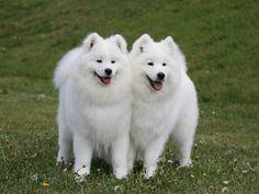 samoyed   Samoyed  they look like they are smiling.