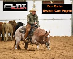 SWISS CAT PEPTO - 2009 Red Roan Mare for sale with over $165K+ in NCHA earnings trained by Clint Allen Sire: Sweet Lil Pepto Dam: Swiss Cat NCHA LTE $34K+ (by High Brow Cat) Here is a unique opportunity to own a proven mare with an outstanding show record that would make an excellent Open or Non Pro Mercuria prospect for anyone to go show. This mare has a beautiful way of moving that makes it look easy and is a pleasure to ride. When you're done showing her she will make ...