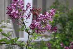 Lilacs and Lily Bells | A Mid-Spring Playlist » Homesong