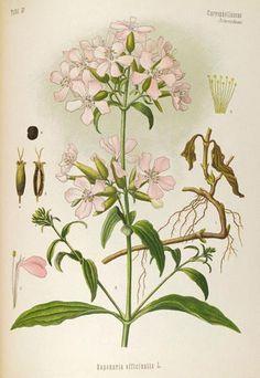 Soapwort(Saponaria officinalisLINN.)