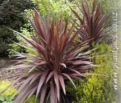 Cordyline 'Purple Tower' - Landscaping with New Zealand native plants