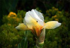 Iris mit kleiner Fliege - Jahreszeiten - Galerie - Community
