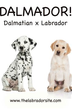 """If you're interested in the Dalmatian Labrador Mix, also known as the """"Dalmador,"""" and wonder if he would be the right addition to your household, then you're in luck. Cute Labrador Puppies, Lab Mix Puppies, Labrador Mix, Fun Facts About Dogs, Dog Facts, Dalmatian Breed, Working Cocker, Funny Dog Photos, Cartoon Dog"""