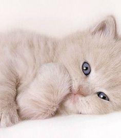 cream color British Shorthair