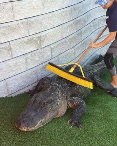Any time you feel bad about your job, remember you could be the one in charge of sweeping the crocodile. Funny Animal Videos, Funny Animal Pictures, Cute Funny Animals, Animal Memes, Cute Baby Animals, Animals And Pets, Beautiful Creatures, Animals Beautiful, Cool Pets