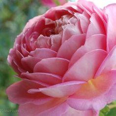 Róża Jubilee Celebration (Austin 2002)- nagi korzeń