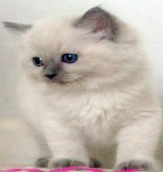 ohio ragdoll kittens, rockstardoll, cincinnati ragdoll kittens, mink ragdoll  Memphis, hopefully my kitties Dadda