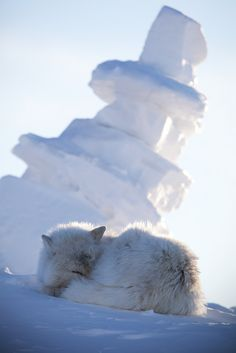 https://flic.kr/p/9CRi1o | Arctic Wolf Napping by the Snow Inukshuk | Arctic Wolf Ellesmere Island, Nunavut, Canada