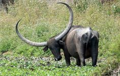 Water buffalo with an extraordinary set of horns Photo credit: Sanjeev Chadha
