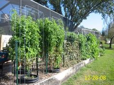 Cattle panel bent to make tomato trellis by monica