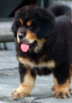 Tibetan Mastiff Puppy. CUTE.