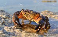 Výsledek obrázku pro krab pobřežní