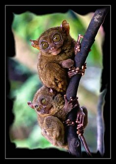 The Philippine tarsier, (Tarsius syrichta) is very peculiar small animal. In fact it is one of the smallest known primates, no larger than a adult men's hand. Philippines - Bohol Island - by Salim Al-Harthy