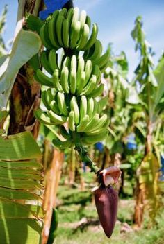 Bananas have been traced through history back to 327 B.C., primarily in India. (Refs 1) It wasn't until 1834, however, that the mass production of the banana (Musa acuminata) began. Banana ...
