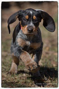 Anabelle bluetick coonhound puppy.