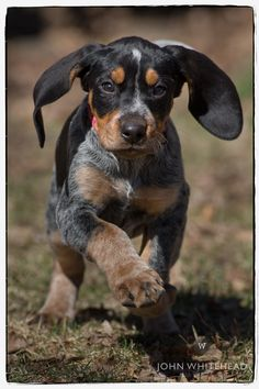 Anabelle bluetick coonhound puppy.