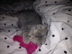Sleep buddies #kitten #britishshorthair #cat #queenelsa