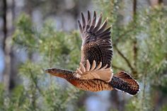 Western Capercaillie (Tetrao urogallus) The female in flight