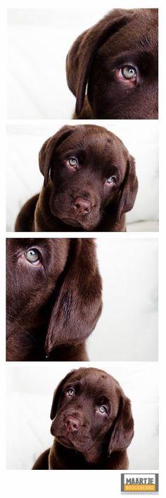 {Pet Photography} {Lab} {Dog} {Puppies} {Photo Session Ideas} {Pet Portraits}