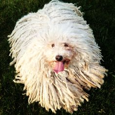 This is Luna, my 4-year-old Puli.