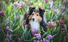 Lataa kuva Shetlannin lammaskoira, koirat, Sheltie, söpöjä eläimiä, hyasintit