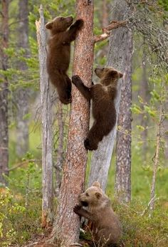 Eurasian brown bear cubs go through a climbing lesson with their mum (out of picture) in the Martinselkonen Nature Reserve, Russia Picture: ...DALIA KVEDARAITE/GIEDRIUS STAKAUSKAS/HOTSPOT MEDIA