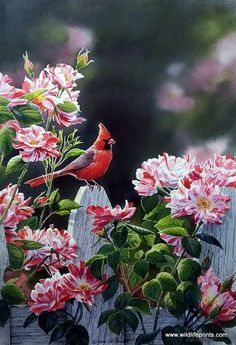 The male cardinal rests on a white picket fence next to the beautiful white and pink flowers in Susan Bourdet's Garden Getaway.