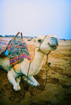 Happy camel, Morocco