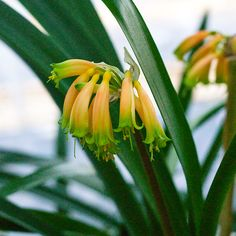 Photographs from Colorado Clivia Company's collection of Clivia robusta and gardenii in bloom during the fall of Rare Plants, Colorado, Bloom, Lily, Herbs, Number, Flowers, Aspen Colorado, Unusual Plants