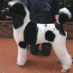 parti colored standard poodles - this is what i will be getting for me and braelynn next christmas!! :)
