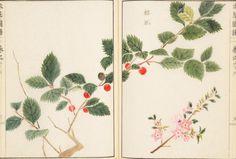 桜桃(サクランボ) cherry   本草図譜  岩崎 灌園, Honzo-Zufu, KanEn Iwasaki (1830)