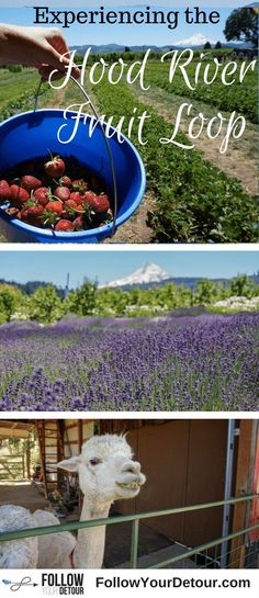 If you're planning to visit Hood River, Oregon then don't miss the Fruit Loop. You can pick strawberries, raspberries, and blueberries, pet and feed alpacas, sip on ciders and craft beer, smell the lavender fields, and more! It's one of the top things to do! #HoodRiver #Oregon and the Columbia Gorge are so beautiful all year long. The area offers skiing and kite surfing as well. It's a U.S. travel bucket list item for sure. Take a road trip there now! It's only an hour from Portland…