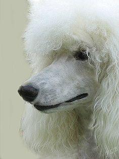 27 Best Standard Poodle Summer Images Poodle Dogs