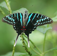 Striped Sword Tail Butterfly