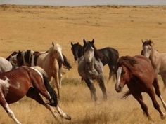 Thousands of wild horses will be spared due to a government decision to cancel a…