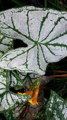 Heavy dew on my caladiums this morning