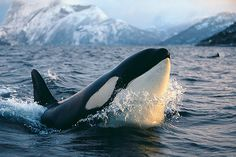 "Orcas are my fav whale! The movie ""Orca"" made me wanna be a Marine Biologist :) Orcas, Beautiful Creatures, Animals Beautiful, Rettet Die Wale, Photo Animaliere, Save The Whales, Ocean Creatures, Tier Fotos, Killer Whales"