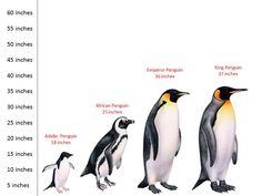 different types of penguins and their heights