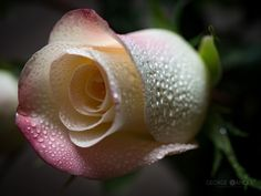 Rose by George Oancea on 500px
