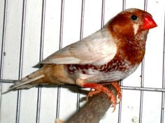 Exotic Birds, Colorful Birds, Finch Bird House, Zebra Finch, Zebras, Beautiful Birds, Java, Pet Birds, Animals And Pets