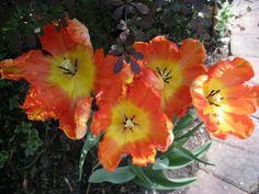 Dutch tulips from Amsterdam Amsterdam Tulips, Dutch Tulip, Garden, Flowers, Plants, Garten, Lawn And Garden, Gardens, Plant