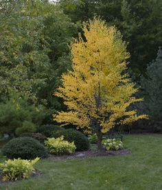 The Katsura tree (Cercidiphyllum japonicum) is a tree for all seasons. It's a tree with clean attractive foliage, interesting bark and unique Autumn scent. Deciduous Trees, Trees And Shrubs, Katsura Tree, Trees For Front Yard, Woodland Garden, Shade Trees, Garden Trees, Backyard Landscaping, Backyard Ideas