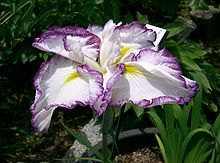 List of Iris species - Japanese Iris (Iris ensata) or hanashōbu, cv. 'Kumoinogan'  --- Wikipedia