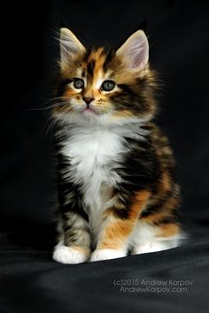 Maine Coon kitten. Beautiful