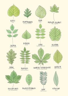 Composting Hacks Leaf ID Chart Poster - Poster. Additional sizes are available. A useful leaf ID chart for common british trees. Tree Leaf Identification, Logo Fleur, Marijuana Plants, Cannabis Growing, Bathroom Plants, Tree Leaves, Plant Leaves, Arte Floral, Horticulture
