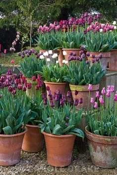 Pots of purple, red, pink and white tulips in the gardeners' yard include Tu.:separator:Pots of purple, red, pink and white tulips in the gardeners' yard include Tu. Planting Tulips, Tulips Garden, Cottage Garden Plants, Garden Bulbs, Purple Garden, Garden Pots, Growing Tulips, Container Plants, Container Gardening